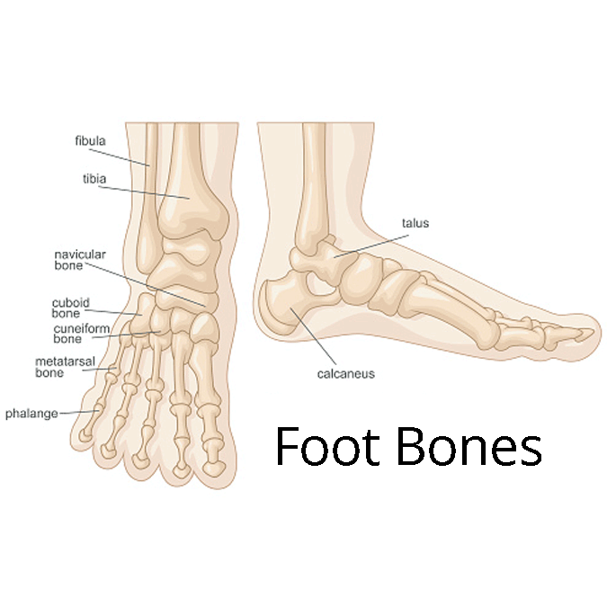 Foot fractures, foot bones